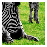 Zebra!-Shirley