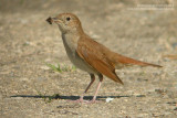 Rossignol philomèle - Rufous Nightingale