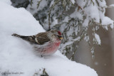 Sizerin flammé (Common Redpoll)