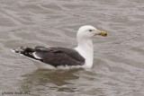 Goéland marin (Great Black-backed Gull)