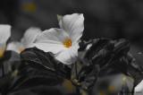 Trille blanc