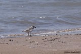 Pluvier siffleur (Piping Plover)