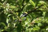 Paruline à ailes dorées (Golden-winged Warbler)