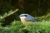 Sittelle à poitrine rousse (Red-breasted Nuthatch)