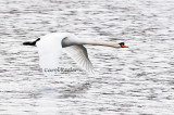 Mute Swan Fly-By