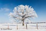 Lone Frosty Tree