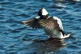 Bufflehead Flap