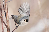 Tufted Titmouse Take-Off