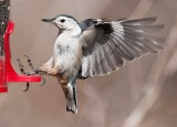 Incoming Nuthatch