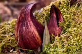 Skunk Cabbage Duo