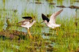 A Yellowlegs Encounter