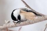 Chickadee Opening Seed