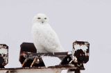 Snowy Owl at the Airport