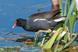 Common Gallinule Walking