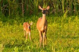 White-Tail Doe with her Fawn