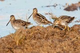 The Three Amigos ( Wilson's Snipe)