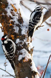 He and She Downy Woodpeckers
