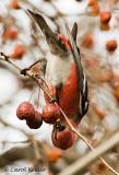 Pine Grosbeak Acrobat