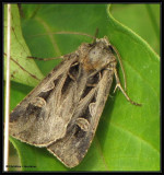 Masters dart (Feltia herilis), #10676
