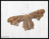 Scoopwings (Family: Uranidae) 7653