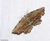 Common Lytrosis moth (Lytrosis unitaria), #6720