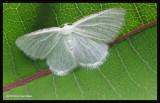 The virgin moth (Protitame virginalis), #6270