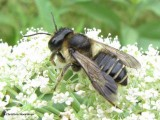 Leafcutter bee (Megachilid) on Queen Anne's Lace