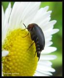 Tumbling Flower Beetles (Family: Mordellidae)