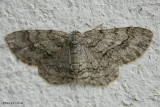 Geometrid moth, possibly one of the Carpet species