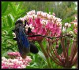 Great black  wasp (Sphex pensylvanicus) on swamp milkweed