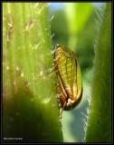 Treehopper (Acutalis tartarea)