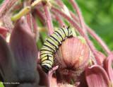 Monarch Caterpillars, Eggs, and Chrysalises (Danaus plexippus)