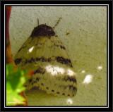 White underwing moth (Catocala relicta), #8803