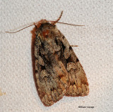 Praevia Dart Moth (Xestia praevia), #10968.1