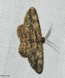 Common Gray (Anavitrinella pampinaria), #6591
