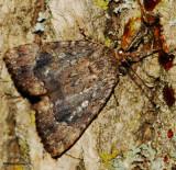 Copper Underwing (Amphipyra pyramidoides), #9638