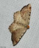 Blurry Chocolate Angle (Macaria transitaria), #6339