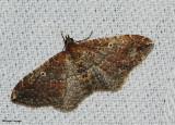 The Gem Moth (Orthonama obstipata), #7414