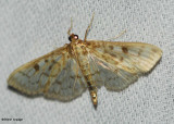 Smartweed Borer Moth (Ostrinia obumbratalis), #4947