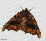 Morrison's Pero Moth (Pero morrisonaria), #6755