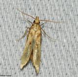 Pre-torticid moth
