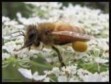 Honey bee (Apis mellifera) with pollen pack