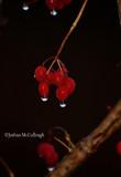 High bush cranberry fruit in rain
