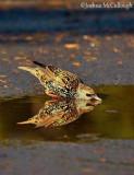 European starlings of the FWG
