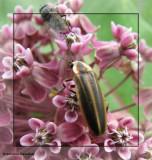Other Critters on Milkweed plants