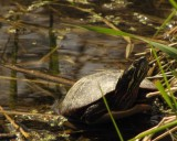 Painted turtle  (Chelydra serpentina)