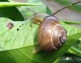 Snail, possibly a Cepaea species