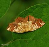 Horned spanworm (Nematocampa resestaria), #7010