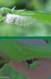 Buffalo treehopper (stictocephala ), nymphal skin and adult