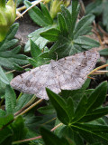 Faint-spotted Angle Moth (Digrammia ocellinata), # 6386